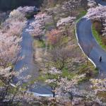 1000 sakura
