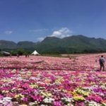 hanakoen daisies